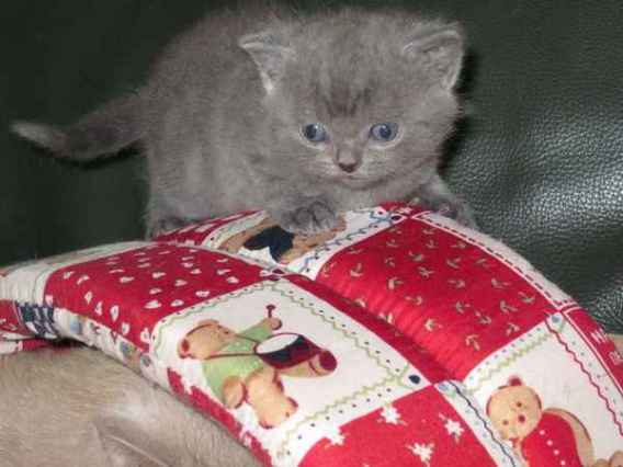 Ravissant Bebe British Shorthair A Donner Contre Amour