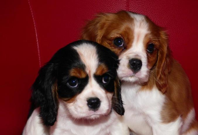 Deux chiots cavalier king charles