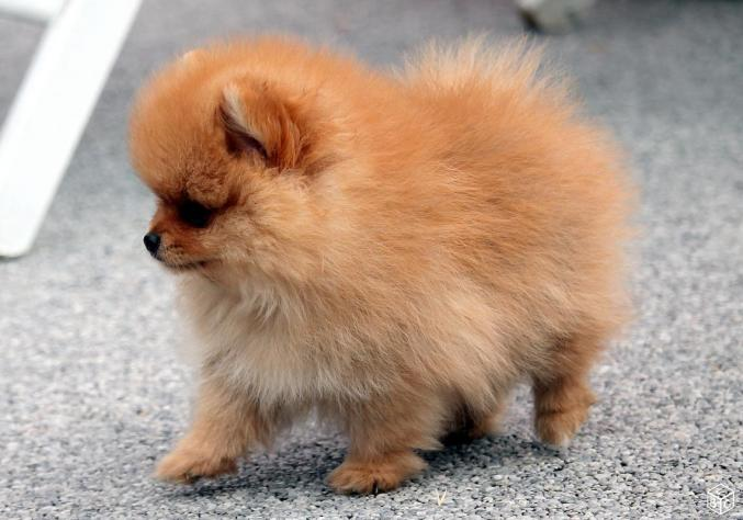 A Donner Chiot Spitz Allemand Femelle Naine