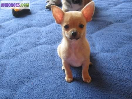 A Donner Chihuahua Mini 1 Femelle Et 1 Male