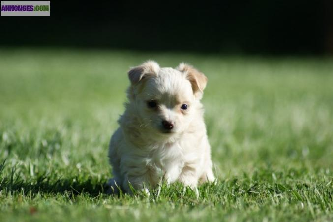 Chiot type CHIHUAHUA A DONNER