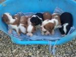 Chiots type cavalier king charles non l.o.f - Miniature